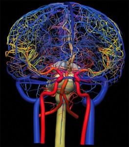 Сосуды головного мозга - схематично