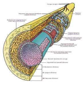Схематичное изображение сосудов