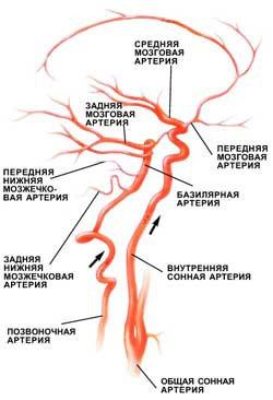 Схематичное изображение артерий головного мозга